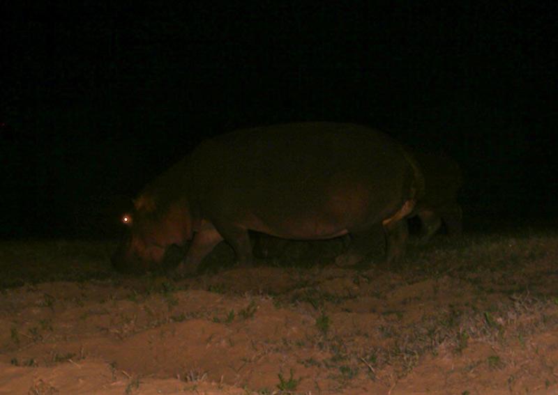 Halloween Hippo