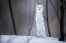 An ermine in the Grand Teton Mountains